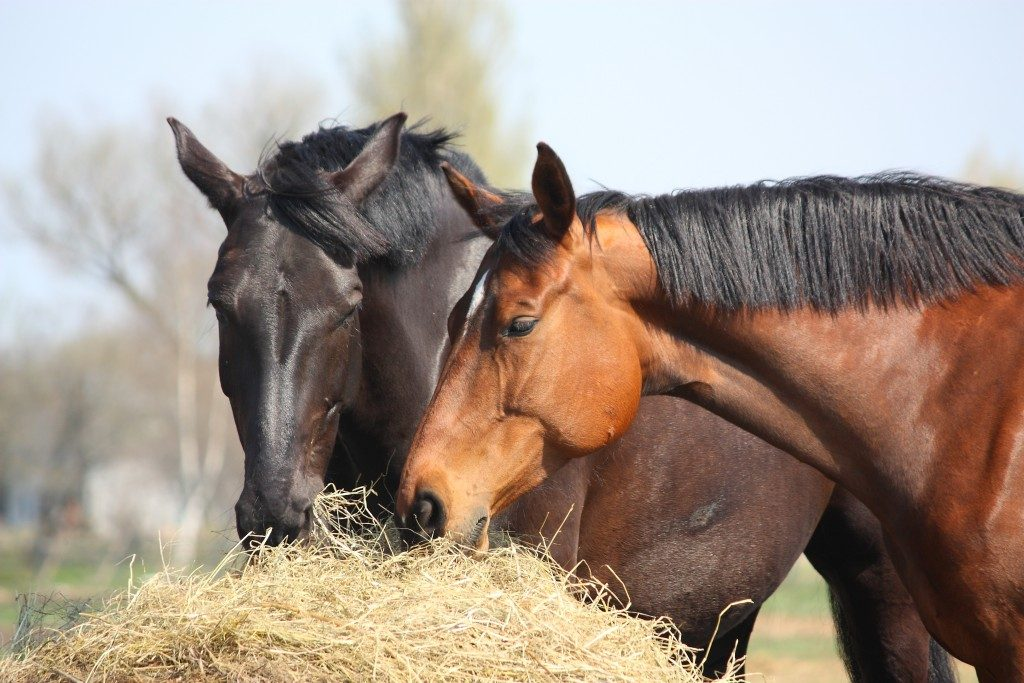 Black and brown horses eating hay